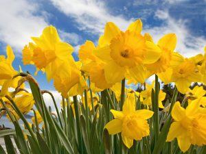 Daffodil-flowers-30709818-1600-1200